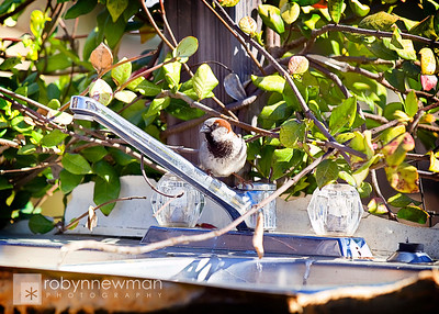 This little bird kept fighting his own reflection in the outdoor faucet at Heritage Park,  McDonough, GA (Henry County, Georgia)