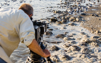 Filming the feeding frenzy and horseshoe crab spawn