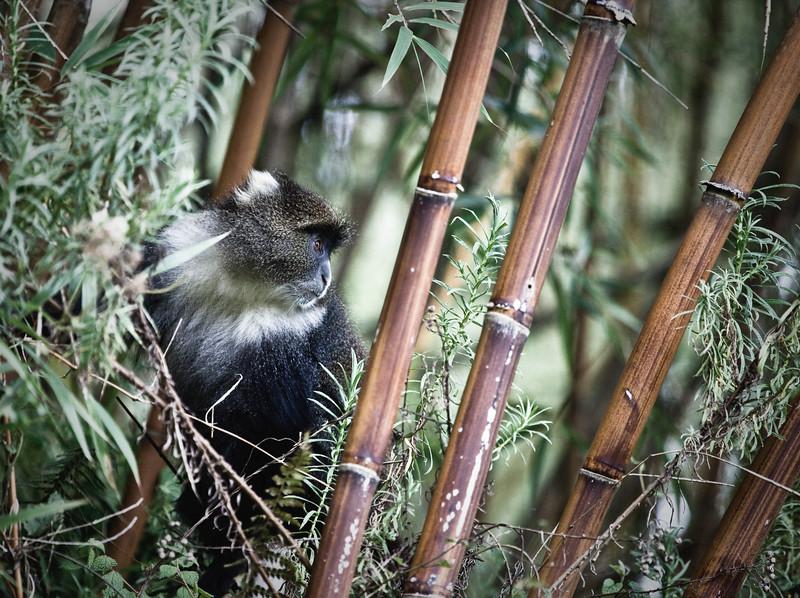 Vervet monkey in bamboo, Aberdare Mountains