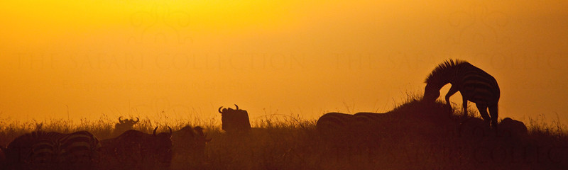 Zebra and wildebeest, Maasai Mara