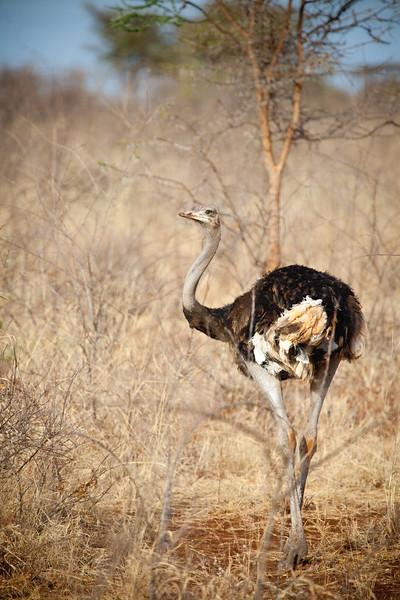 Ostrich in Meru National Park, Kenya