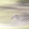 Zebra running, Solio