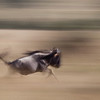 Wildebeest running, Maasai Mara