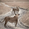 Lionesses, Maasai Mara