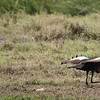 Crowned cranes at Solio