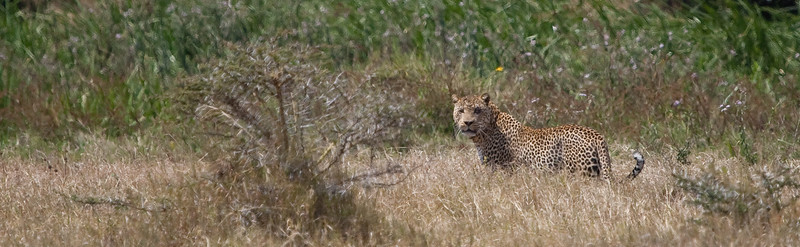 Leopard at Solio