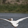 Pelican on Lake Naivasha