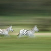 Zebras running at Olodien Bay, Lake Naivasha