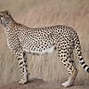 Cheetah, Maasai Mara
