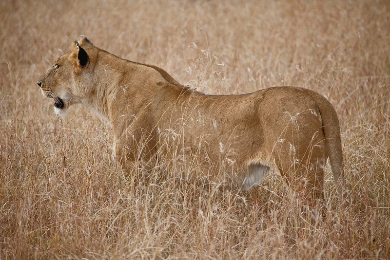 Lioness, Maasai Mara