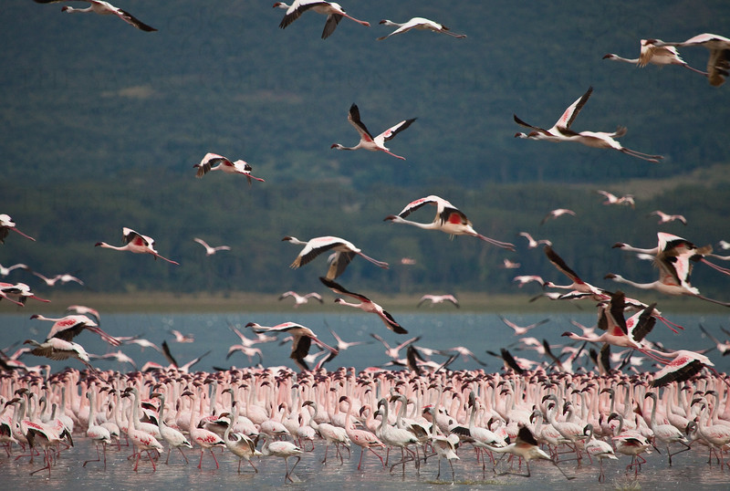 Flamingoes at Olodien Bay, Lake Naivasha