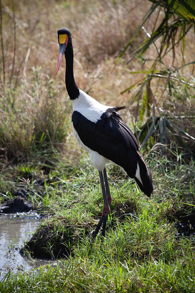 Saddled crane in Meru National Park, Kenya