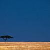 Tree, Maasai Mara