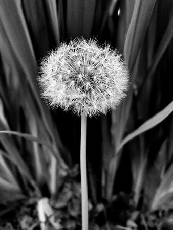 Dandelion Depth