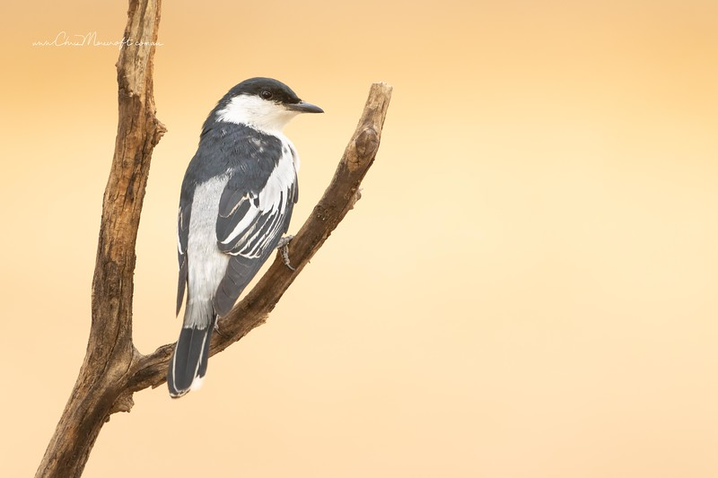 White-winged Triller, Lalage tricolor,