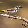 New Holland Honeyeater; Phylidonyris novaehollandiae