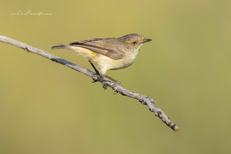 Yellow-Rumped Thornbill , Acanthiza chrysorrhoa
