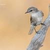 Jacky-Winter, Microeca fascinans.