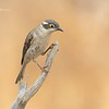 Brown Headed Honeyeater,Melithreptus brevirostris