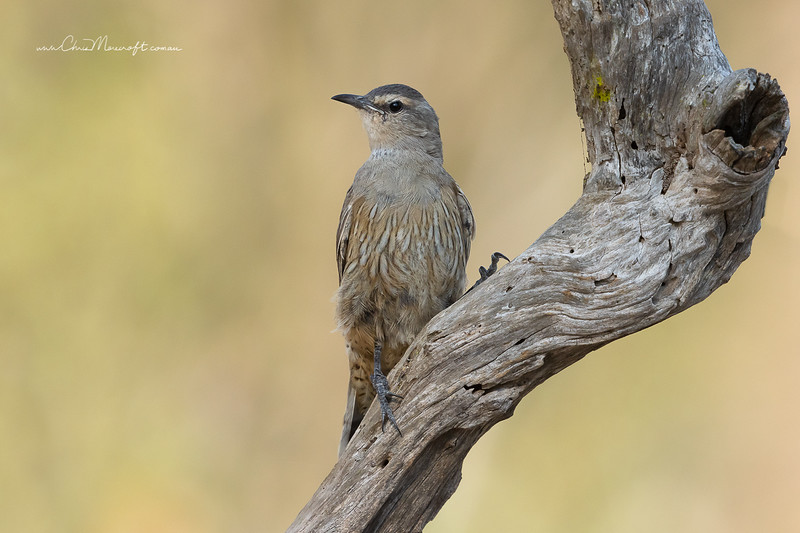 Brown - Treecreeper