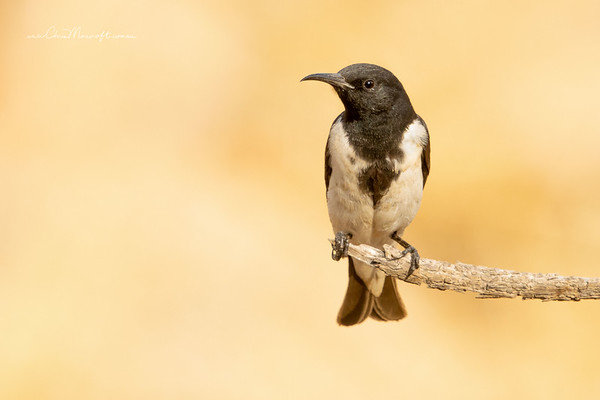 Black-Honeyeater, sugamel nigrum