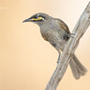 Yellow- Faced Honeyeater, Caligavis chrysops
