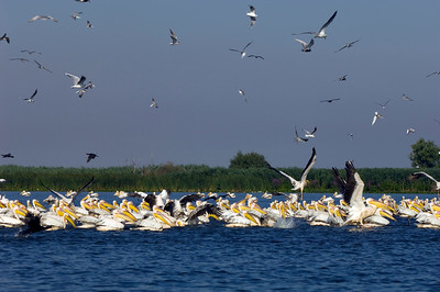 Pelicans on Uzlina Lake, The Danube Delta, Dobrogea, Romania