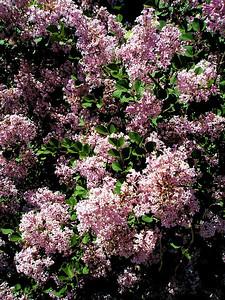 Dwarf Lilacs