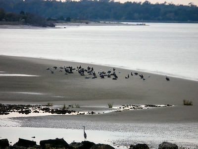 Pelicans in the Sand at Fort Sumter
