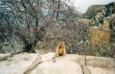 Southern Rim Canyon View with Squirel