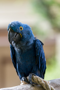 Niele the Macaw