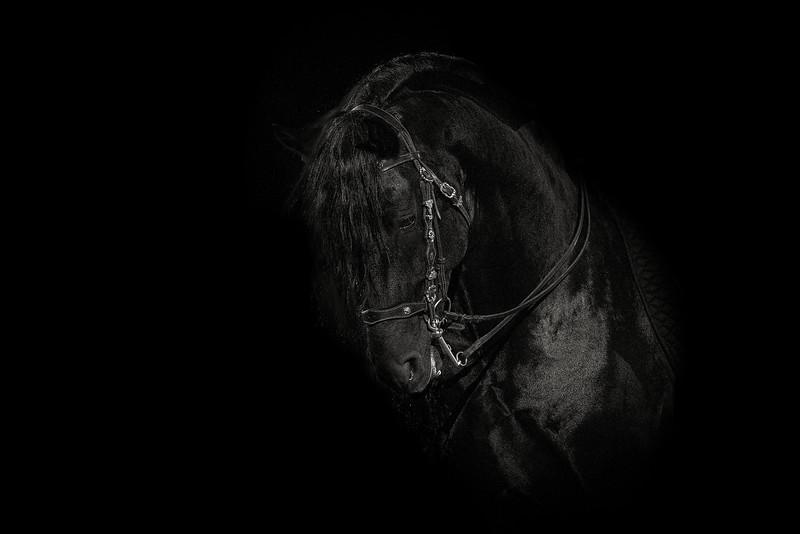 Noir - Friesian Stallion
