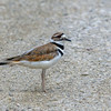 Killdeer @ AEP Reclamation Land, July 2016