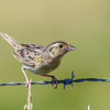 Grasshopper Sparrow @ AEP Reclamation Land, July 2016