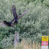 Turkey Vulture @ AEP Reclamation Land, July 2016