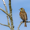 Dickcissel @ AEP Reclamation Land, July 2016