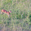 Whitetail Deer @ The Wilds, June 2016