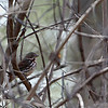 Fox Sparrow @ Greenlawn Cemetery - March 2010