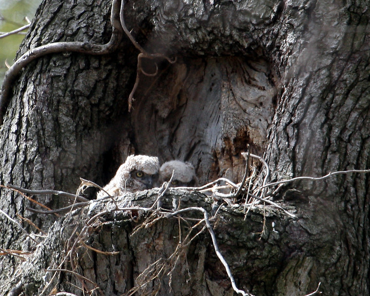 Great Horned Owlet @ Greenlawn Cemetery - March 2010
