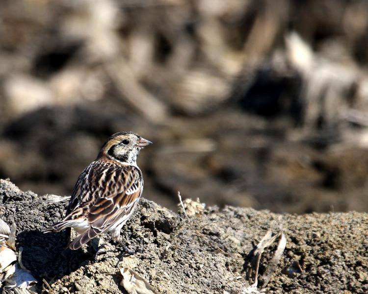 Lapland Longspur @ Killdeer Plains Wildlife Area - March 2010