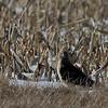 Northern Harrier @ Killdeer Plains Wildlife Area - March 2010