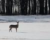 Whitetailed Deer @ Killdeer Plains Wildlife Area - March 2010