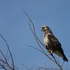 Rough-legged Hawk @ Killdeer Plains Wildlife Area - March 2010