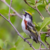 Chestnut-sided Warbler - Presque Isle County, MI, May 2016