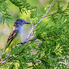 Great-crested Flycatcher - Presque Isle County, MI, May 2016