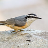 Red-breasted Nuthatch - Presque Isle County, MI, May 2016