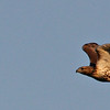 Red-tailed Hawk @ Highbanks MP - July 2010