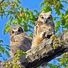 Great Horned Owlets @ Highbanks MP - April 2012