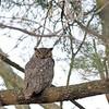 Great Horned Owl @ Highbanks MP - April 2012