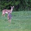Whitetail Deer @ Highbanks MP - April 2012